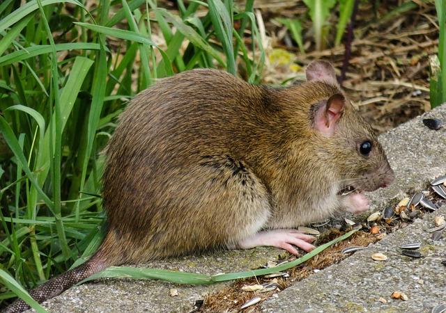 Was Tun Gegen Ratten : was tun gegen ratten lebendfallen und schlagfallen zur rattenbek mpfung immobilienmarkt ~ A.2002-acura-tl-radio.info Haus und Dekorationen